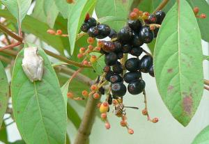Firebush Berries with Gold Frog and Wasp